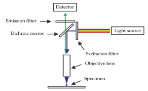 Diagram of Fluorescence Microscope. Explains how the light source goes through filters to specify items of interest form the sample