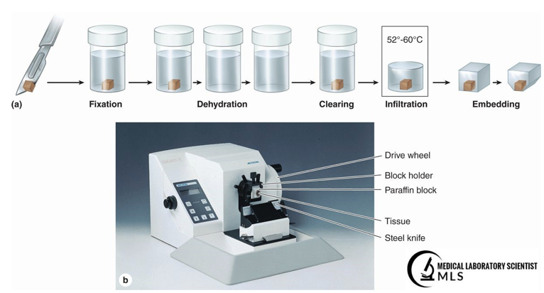 Tissue Processing for Stereology 2